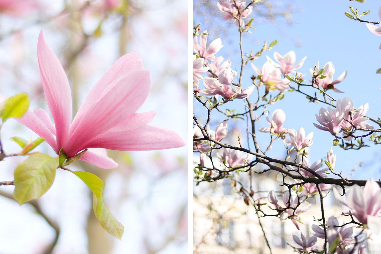 Le guide pratique des arbres en fleurs paris lodie for Arbres jardin du luxembourg
